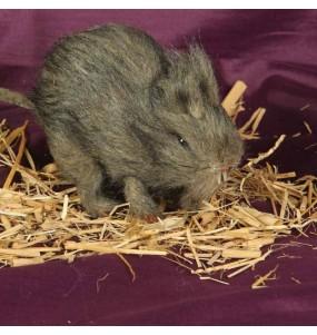 Rata con pelo